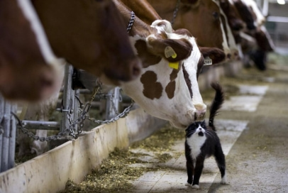 barn-cat-and-cow.jpg